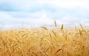 natura, foto, carta da parati, Foto, campo, orecchie, spighette, spica, grano, raccolto