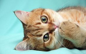 лапочка, кошка, кот, котенок