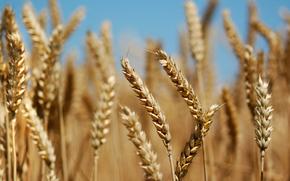 колосья, хлеб, растения, поле, природа