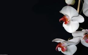 цветок, редкий, обои, орхидея