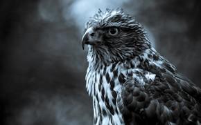 орел, фон, смотрит
