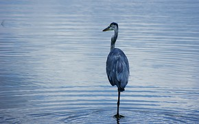bird, stork, pond, оперение, beak