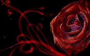 rose, gouttes, rose
