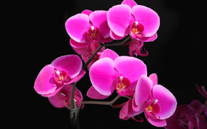 фаленопсис, орхидея, малиновая, красота