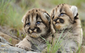 cubs, view, tiger